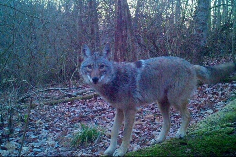 A coyote at Withrow Nature Preserve.