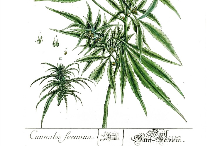 "Cannabis foemina: The ""female hemp"" stalks grow about five foot high and the leaves are a deep green above and a light green underneath."