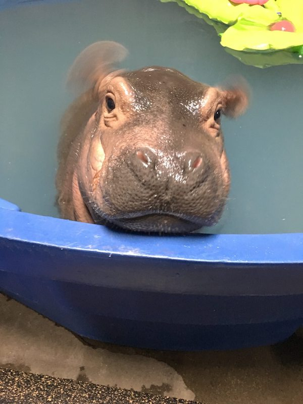 Fiona caught mid-ear wiggle while chilling in her pool.