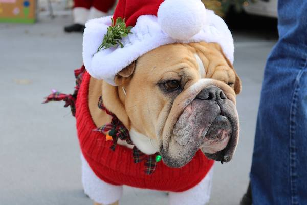 A holly jolly bulldog dressed to the nines at last year's Reindog Parade.