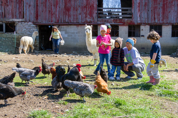 The alpacas and chickens are a big draw at Tikkun Farm, a non-profit devoted to healing, on the land of a former dairy.