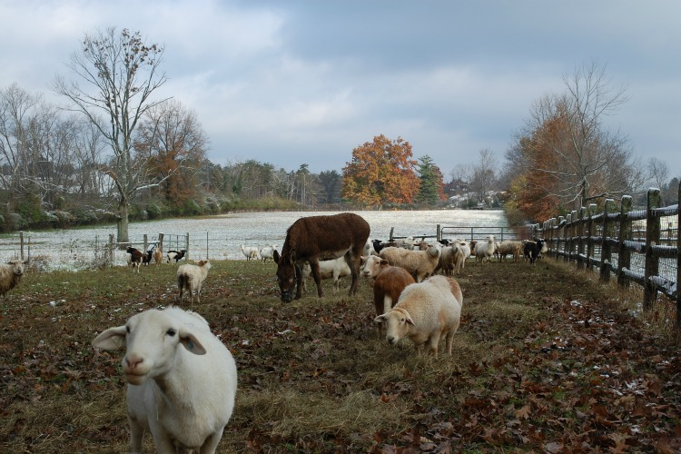 The sheep at Turner Farm have their own guardian donkey.