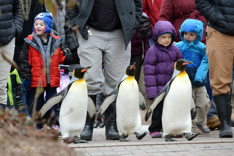 Visitors love walking with birds during the Penguin Parades.