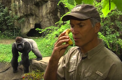 Thane_Maynard_gorilla_small