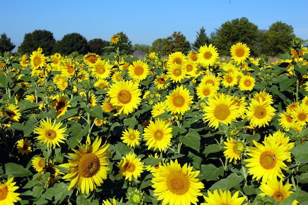 Gorman Heritage Farm hosts its 12th annual Sunflower Festival Saturday & Sunday