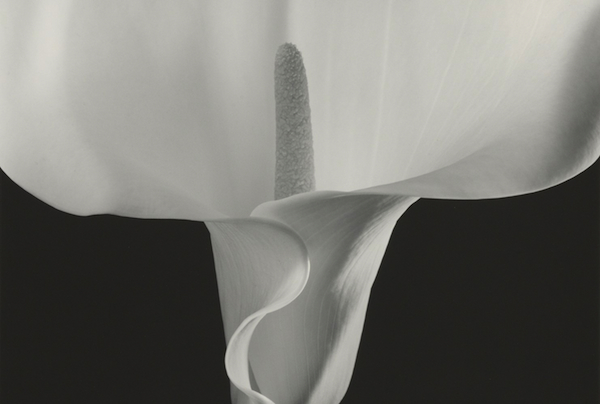 """Calla Lily"" was included in Robert Mapplethorpe's 1990 exhibit at the Contemporary Arts Center"
